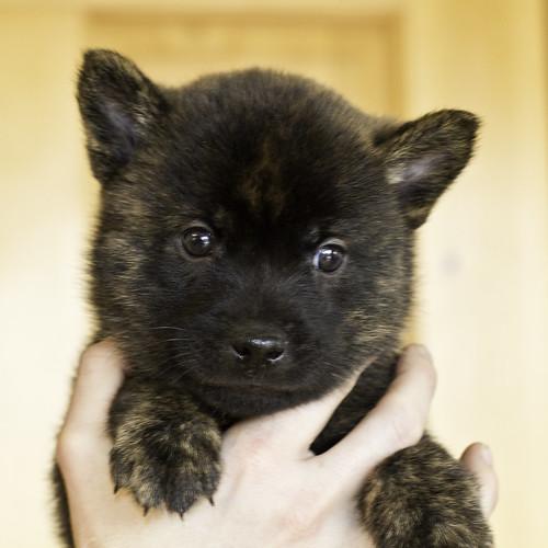 Kumi-Litter5-Day37-Puppy5-Male-a | by brada1878