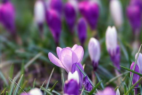 Spring Bokeh - Sony 135/2.8 (T4.5) STF @ T4.5 - DSC09499   by H.Hackbarth