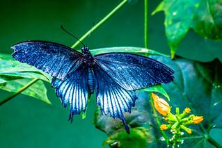 Scarlet Mormon Papilio rumanzovia