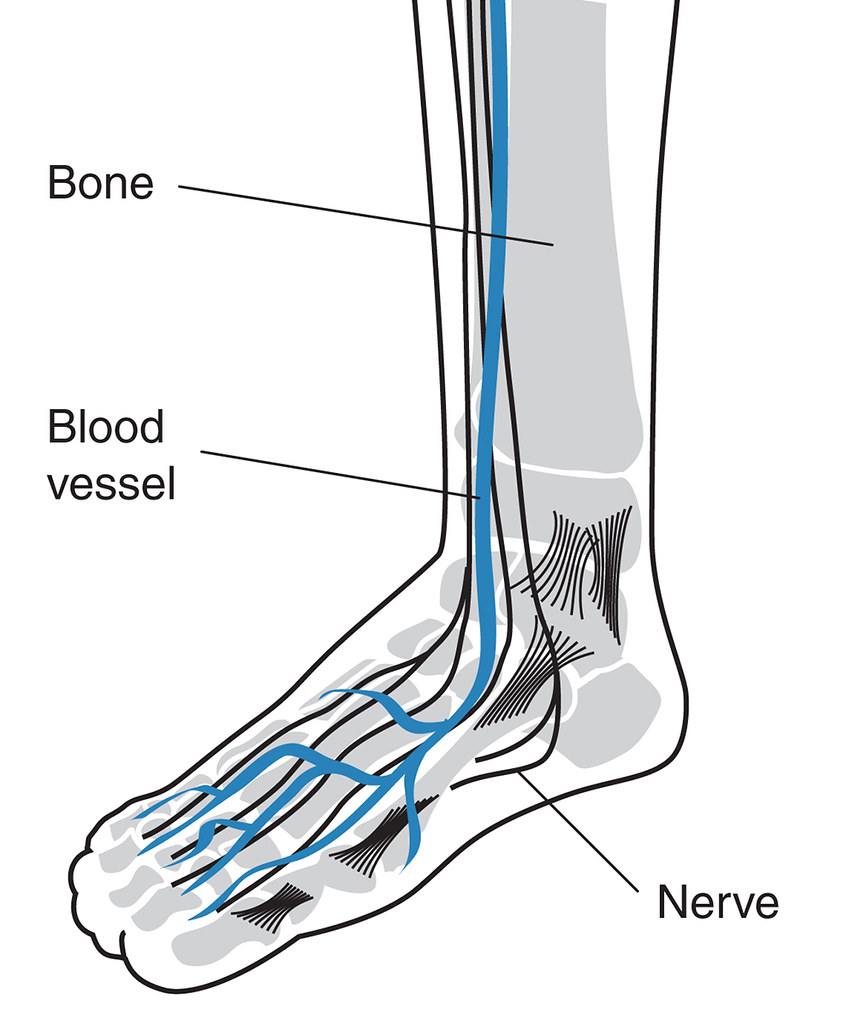 Drawing of a foot showing blood vessels, bones, and nerves… | Flickr