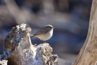 rock wren 1 | by G_Anderson
