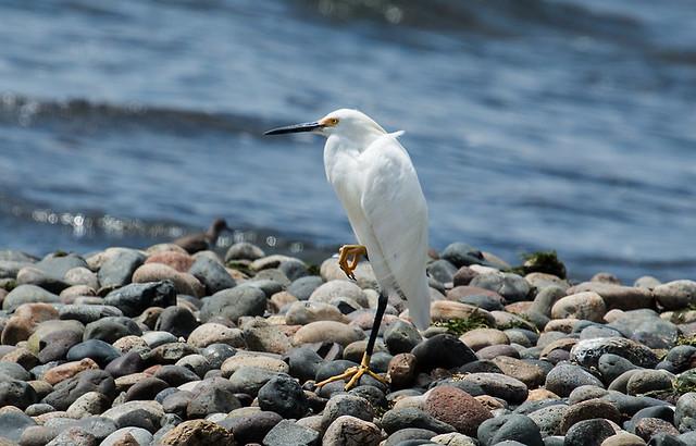 IMG_4731  Snowy Egret