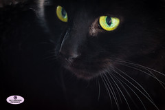 Black Cat Close-up