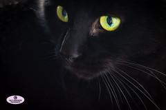 Black Cat Close-up