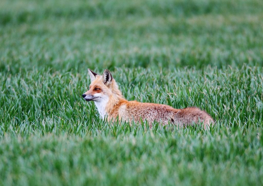 wild red fox 2