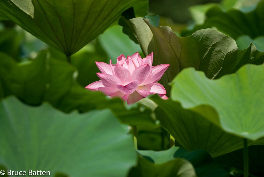 080731 Lotus @ Yakushiike-04.jpg