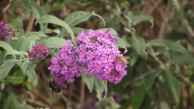 IMG_8080 Dos Pueblos HS budleia butterfly bush bee fly
