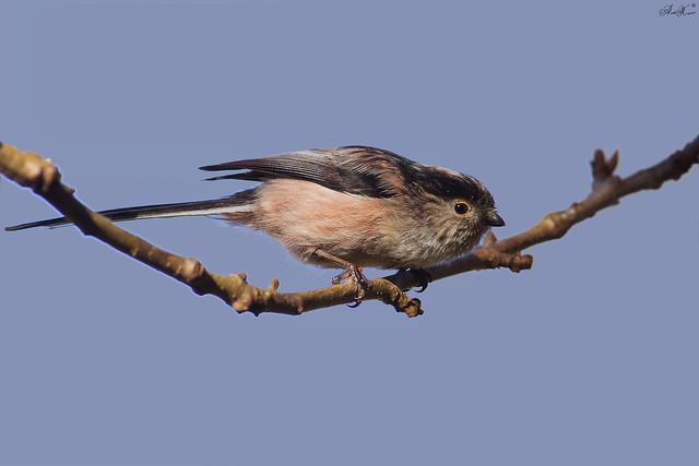 Chapim-rabilongo, Long-tailed tit(Aegithalos caudatus)