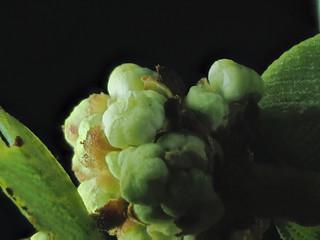 2016-01-30-12.06.44 ZS PMax Ceanothus megacarpus-1