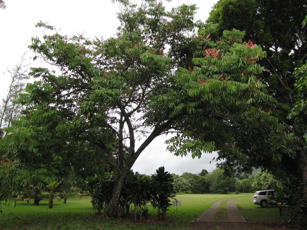 starr-120606-6850-Carapa_guianensis-habit-Kahanu_Garden_NTBG_Hana-Maui