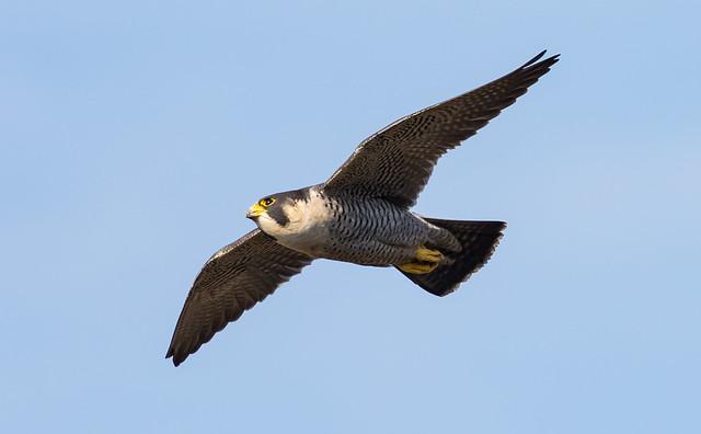 Peregrine Falcon - Avon Gorge, Bristol