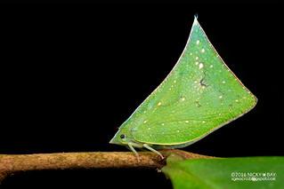 Flatid planthopper (Flatidae) - DSC_8075