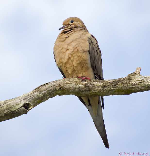 A mourning dove out relaxing.