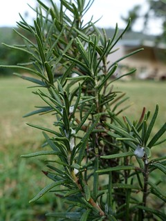 Rosemary: Spittlebugs   by Plant pests and diseases