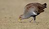 Tasmanian Native-hen (Tribonyx mortierii) by George Wilkinson