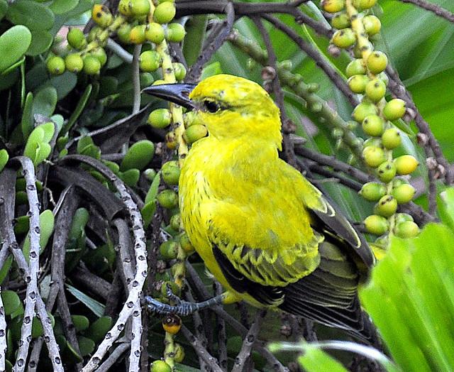 Burung kuning -1