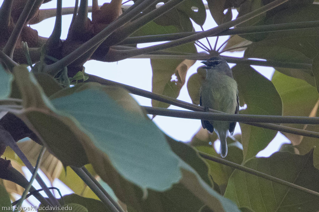 White-lored Tyrannulet (Ornithion inerme), Fazenda Catitu Reserva Particular, Itacare, Bahia, BR, 20160129-102.jpg