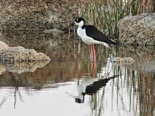 Black-necked Stilt 2-20160412
