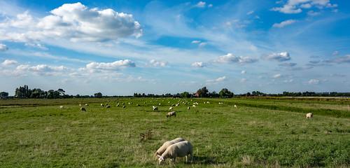 field clouds landscape sheep bluesky grassland polder middendelfland