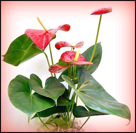 Anthurium Flower ...