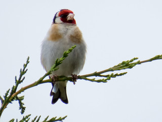 European Goldfinch (Carduelis carduelis) | by Brian Carruthers-Dublin-Eire