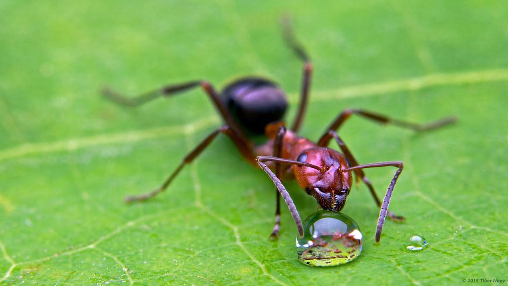 Formica sanguinea slave maker ant