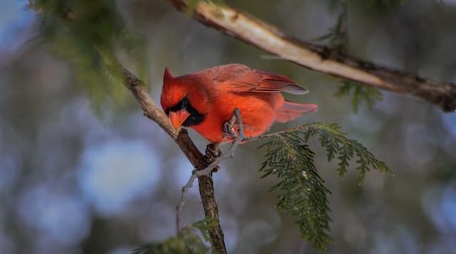 Cardinal Rouge --- Northern Cardinal --- Cardinale --- nikon d750 70-300