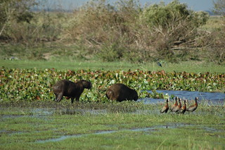Capybara | by curtisfrommichigan