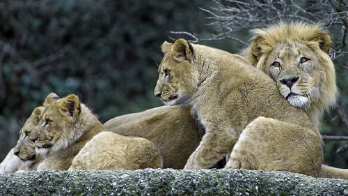 The three cubs with dad | by Tambako the Jaguar