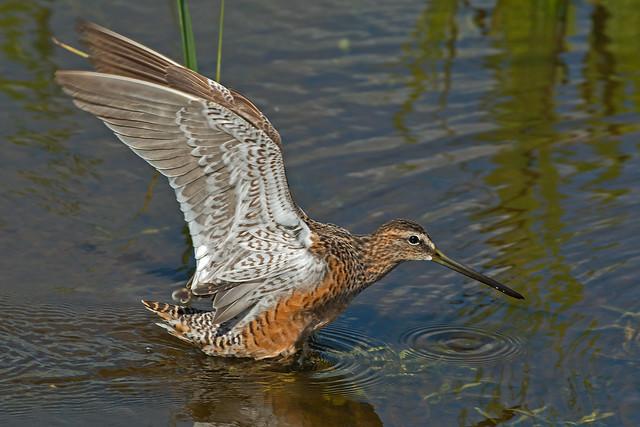 Long-Billed Dowitcher Taking Flight