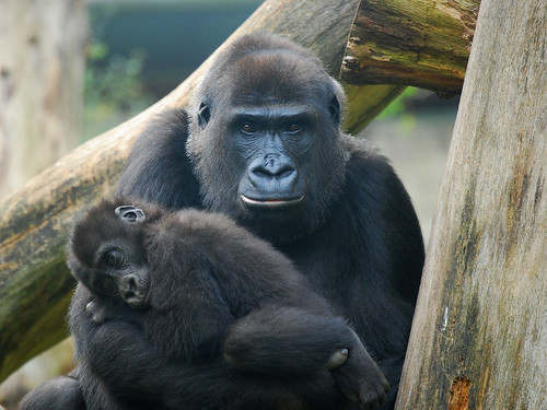 Mother and baby gorilla | by mape_s