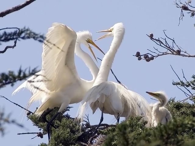 Great Egrets (Ardea alba) and chicks in Morro Bay, CA Heron Rookery, _MG_0126great-egrets-heron-rookery5-16-06