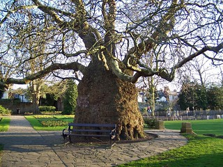 Plane tree in Canterbury Westgate Gardens | by kev747