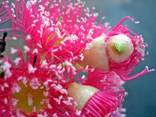 gum flower macro