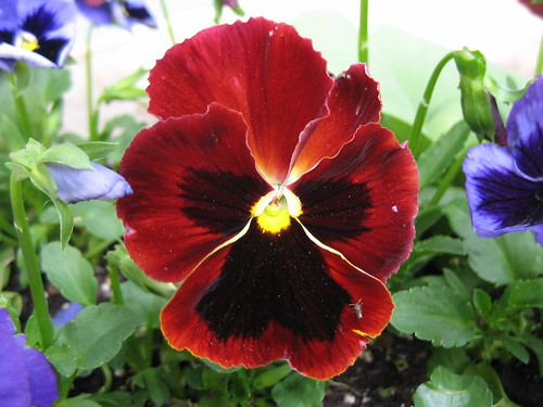 Red Pansy | by pelennor