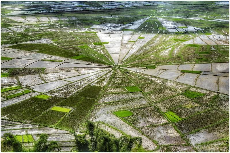 Campos de arroz telaraña