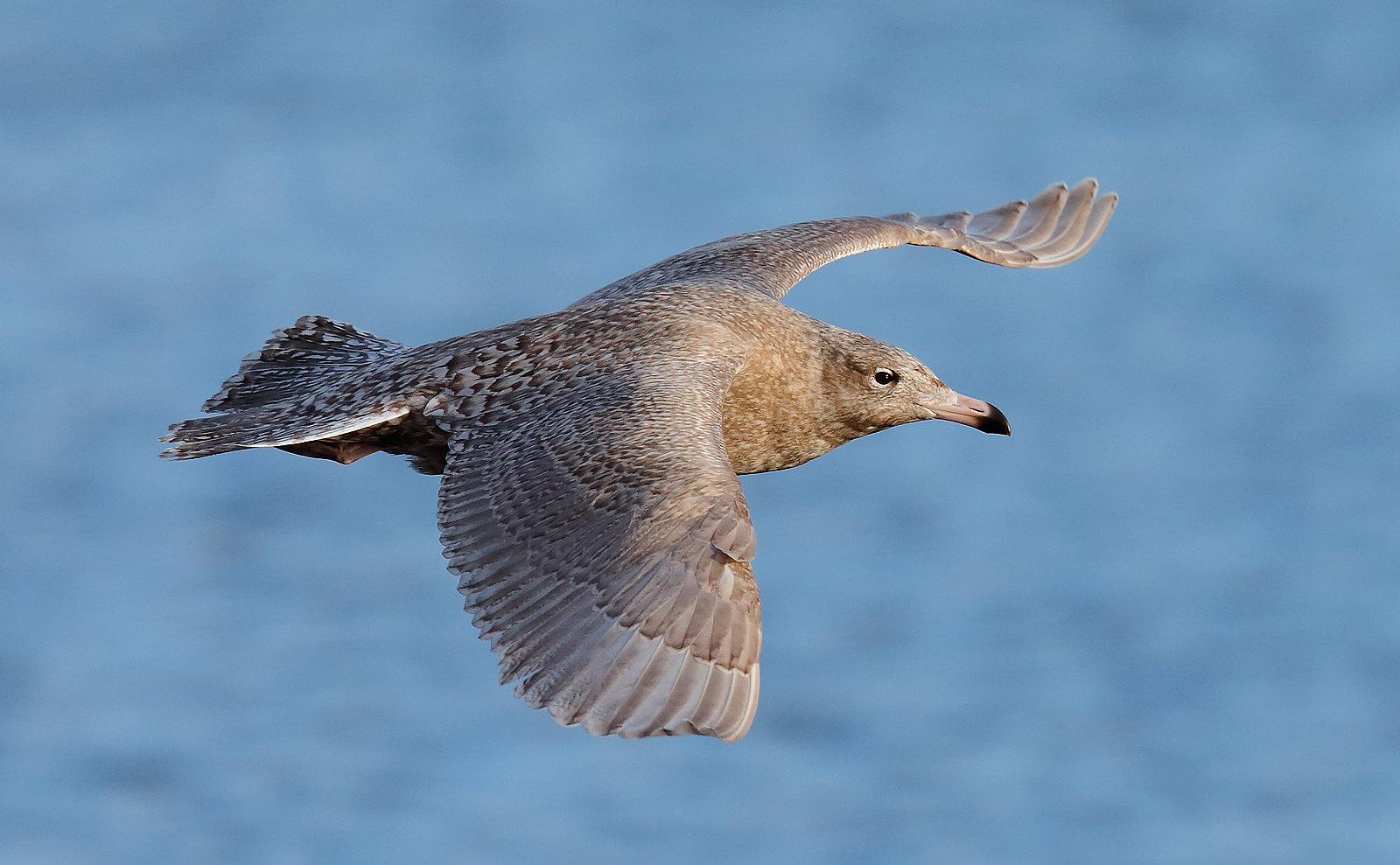 Glaucous Gull - Juvenile