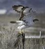 Ferruginous Hawk (Buteo regalis) by cv.vick