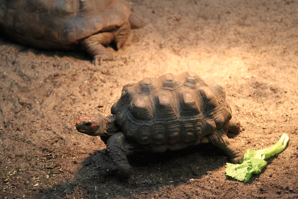 Red-footed tortoise ~ Geochelone carbonaria