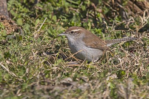 bewickswren thryomanesbewickii saltapareddebewick chiviríncolaoscura bird ave nature naturaleza fauna wildlife