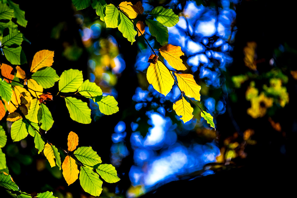 Autumn leaves against blue_NK2-1639   I was going to dump th