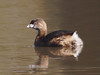 Pied-billed Grebe -- Podilymbus podiceps by podicep
