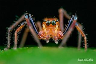 Jumping spider (Parabathippus sp.) - DSC_4513