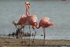 Caribbean Flamingo, Phoenicopterus ruber. by jwsteffelaar