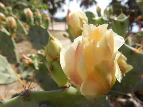 Tulum - kaktusbloem