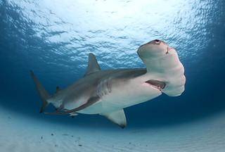 Great Hammerhead Shark   by Alastair Pollock