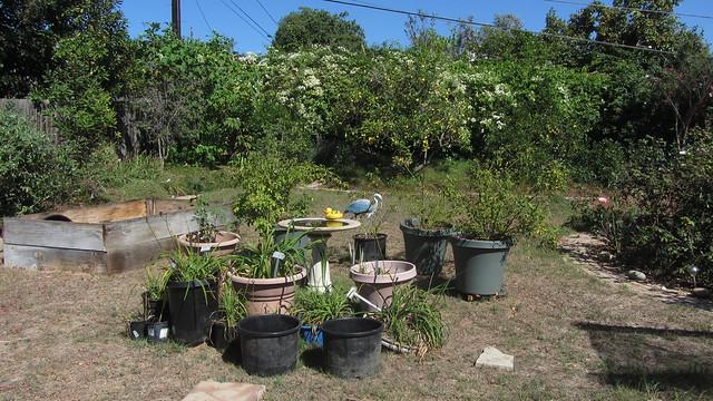 IMG_7160 goleta backyard center potted plants around birdbath