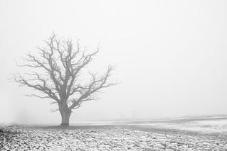 naked oak tree in the haze | by nielskliim