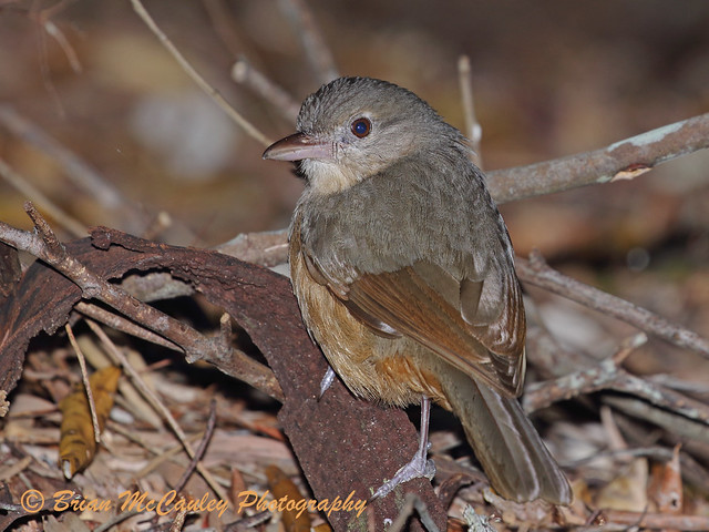 Little Shrike-thrush (Colluricincla megarhyncha)