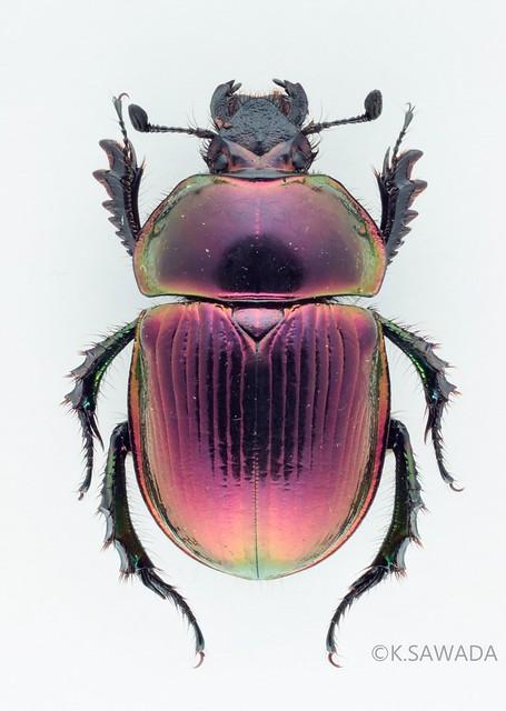オオセンチコガネ名義タイプ亜種 Phelotrupes(Chromogeotrupes) auratus auratus (Motschulsky,1857) 富山県産-2
